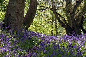 Bowden Bluebells by parallel-pam