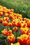 Tulip Garden by foreverbeginstoday