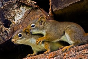 Brotherly Affection - Squirrels by MichelLalonde