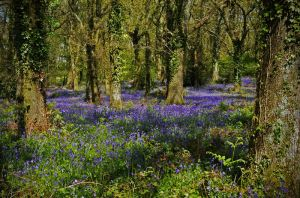bluebell woods at Pamphill by islandtime