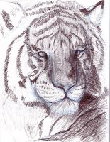 Tiger study 1 rw-sketch by rwolf