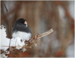 Dark-eyed Junco by Ryser915