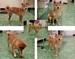 Shiba Inu Reference Set by duckey5