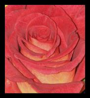 Coming Up Roses by picworth1000wrds