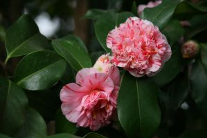 camellias in rose closer by ingeline-art
