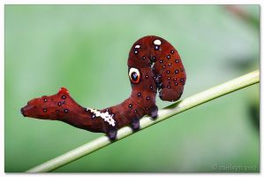 Caterpillar 6 by melvynyeo