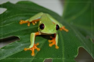 Red Eyed Tree Frog by theperfectlestat