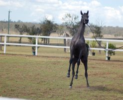 GE arab filly grey rearing front on by Chunga-Stock