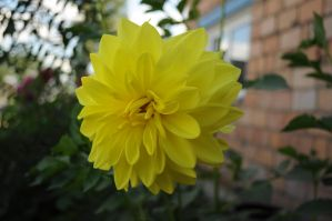 Dahlias by Tumana-stock