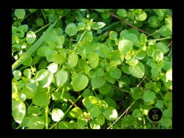 Yummy Chickweed by Ranger-Roger-Reserve