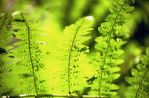 Fern by retsbom