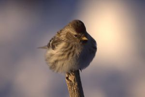 Redpoll Puff by dove-51
