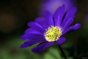 Anemone by George---Kirk