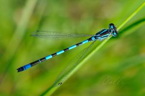 Dragonfly by josepcalleja