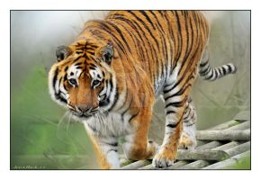 tiger77 by photoflacky