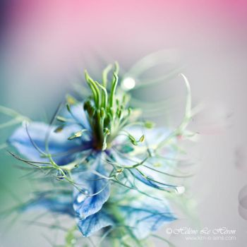 an other Love in a mist by kim-e-sens