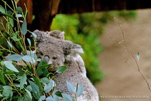 Koalas by WesHPhotography