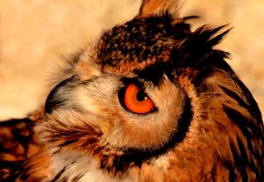 Indian Eagle Owl by Tinap