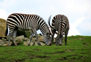 Zebras by NorthernLand