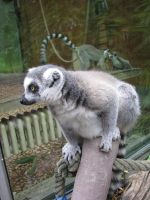 Animals 104 lemur by Dreamcatcher-stock