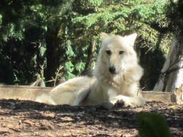 White wolf at the zoo by Mitzi-Mutt