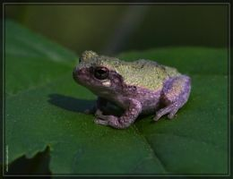 Gray Tree Frog 40D0039486 by Cristian-M