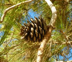 Mature Stone Pine Cone by rotten-ralph