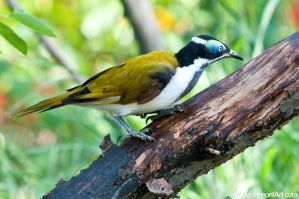 Blue-Faced Honeyeater II by amrodel