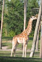 Young Giraffe Eating by horseylover37
