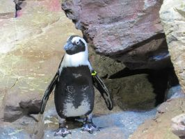 African Penguin Stock 7852 by sUpErWoLf--StOcK