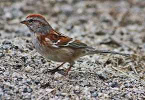 Red Capped Sparrow 5 by acousticrehab