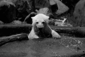 Polar Bears and Water Drops by roamingtigress
