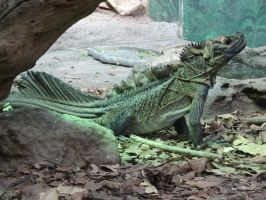 Sailfin Lizard 01 by lizardman22