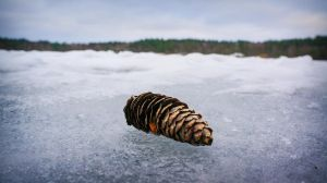 pine cone by iamrated