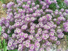 Alyssum by MikeHungerford