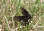 Black Butterfly by Steadholder