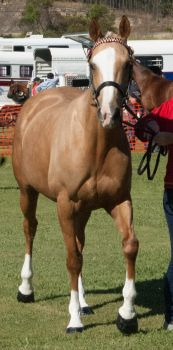 Palomino-mare6 by tbg-stock-images