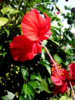 Flaming Red Hibiscus by ayien-chan