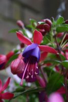 Fuchsia by PureStock
