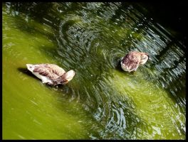 Ducks by himphotography