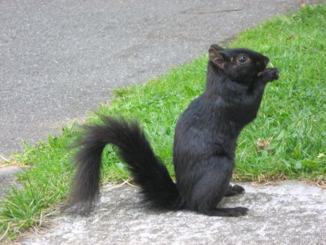 Vancouver Squirrel by Guy-Staring-At-You