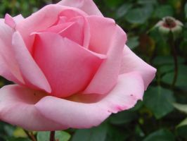 Pastel Pink Rose by hilldren