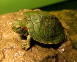 Clover the Turtle by SavesTheDay3