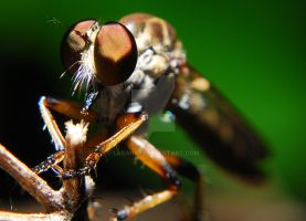 Robber Fly Macro 4 by Larah88