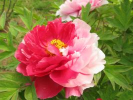 Chinese Luoyang Peony Festival: King Of Flowers by Minasitirith