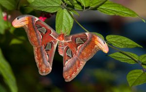 Atlas Moth Wallpaper by secondclaw