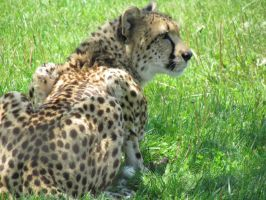 Cheetah (Acinonyx jubatus) by LightningTheFox7