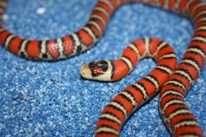Chihuahua mountain king snake by boakid