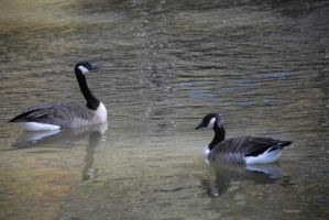 Reflecting Geese by LinzStock
