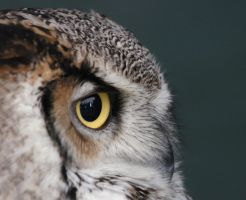 Eagle owl by wildlife-snapper